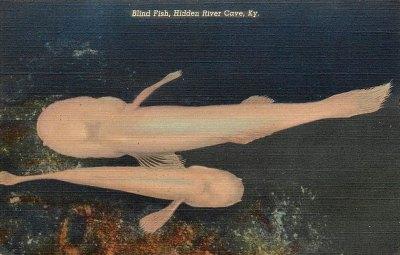 Historic Postcard-Blind Cave Fish-Hidden River Cave, KY
