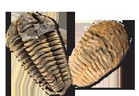 American Cave Museum Gift Shop-Triliobite Fossils